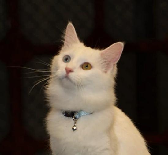 Le plus beau chat du monde est un chat Turc
