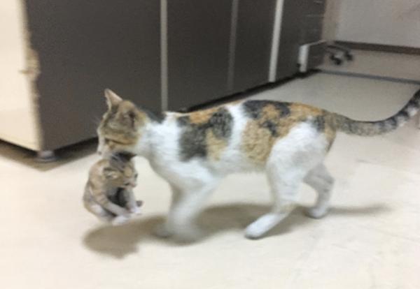 Une chatte amène son petit à l'hôpital