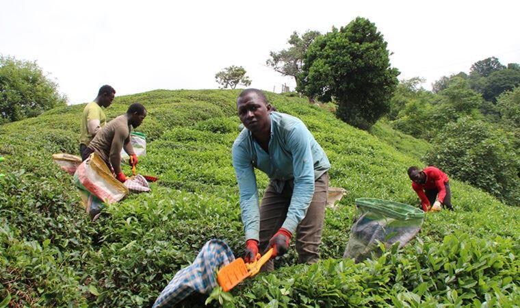 Les travailleurs africains viennent en renfort pour la récolte du thé noir de Rize